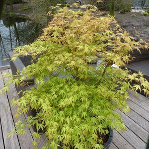 Acer palmatum 'Katsura' (Son & Koot BV)