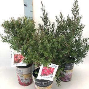 Leptospermum MIX