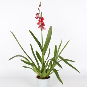 x Burrageara Nelly Isler (Lansbergen Orchideeën)