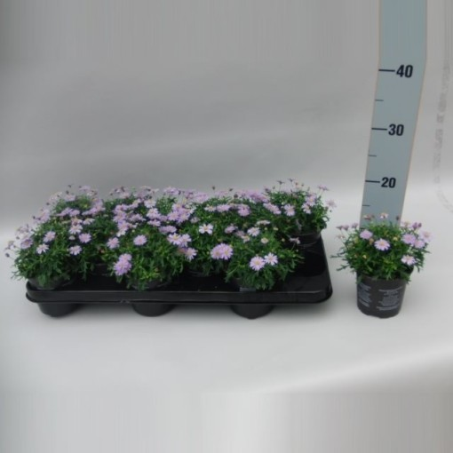 Brachyscome multifida MAUVE DELIGHT (Sonneveld Plants)