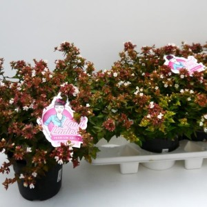 Abelia x grandiflora LITTLE LADY (Experts in Green)