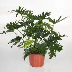 Philodendron bipinnatifidum 'Cum Laude' (Ammerlaan, The Green Innovater)