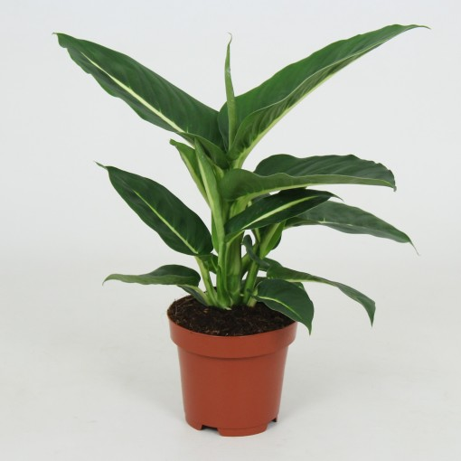 Dieffenbachia 'Green Magic' (Elstgeest)