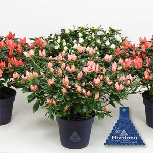 Rhododendron HORTINNO CHRISTINE MIX