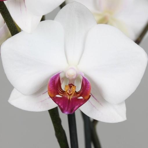 Phalaenopsis PURPLE HEART (Leerdam Orchideeën)