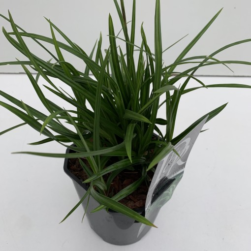 Carex morrowii 'Irish Green' (Cammeraat Potcultuur)