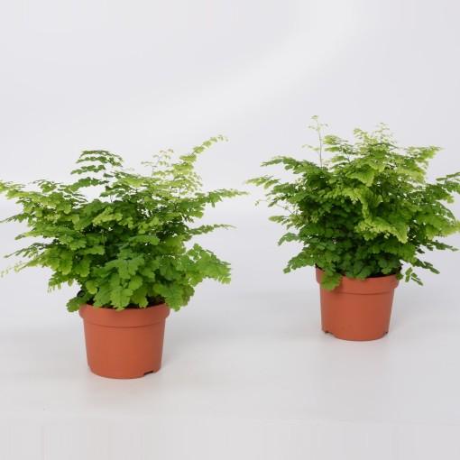 Adiantum raddianum 'Fritz-Luthi' (Bunnik Plants)