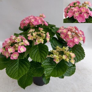 Hydrangea macrophylla HOVARIA SUPERSTARS PINK