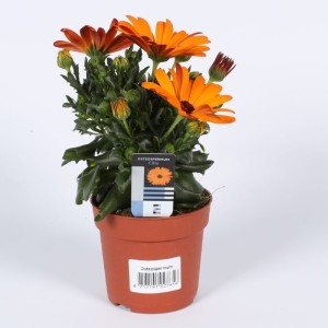 Osteospermum SUNNY CLASSIC CILIA (Endhoven Flowering Plants)