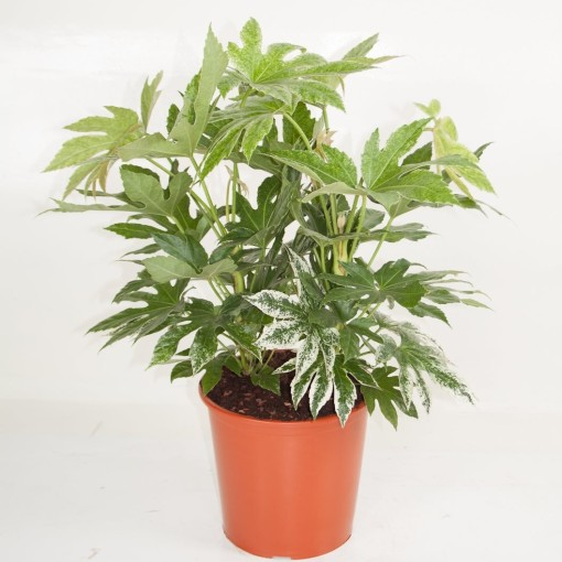 Fatsia japonica 'Spider's Web' (Ammerlaan, The Green Innovater)