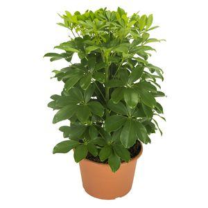 Schefflera arboricola 'Nora'