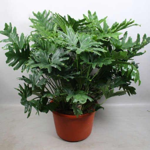 Philodendron 'Hope' (Vireõ Plant Sales)