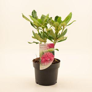 Rhododendron 'Nova Zembla' (Dool Botanic)