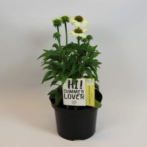 Echinacea MOOODZ GLORY (Rijnbeek Boomkwekerijen B.V.)