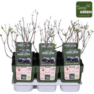 Lonicera kamtschatica (Hoogeveen Plants)