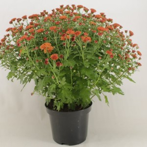 Chrysanthemum 'Jasoda Dark Orange'