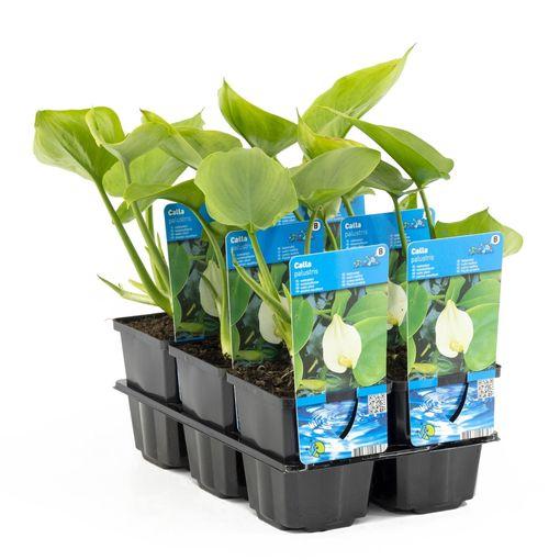 Calla palustris (Moerings Waterplanten)
