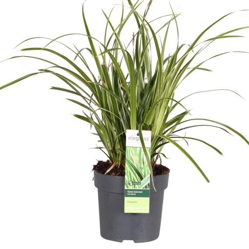 Carex morrowii 'Irish Green' (Hoogeveen Plants)
