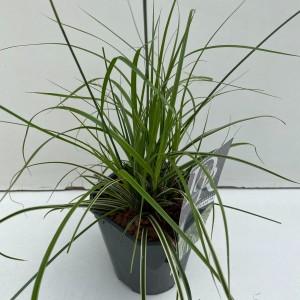 Carex oshimensis EVERCOLOR EVERCREAM