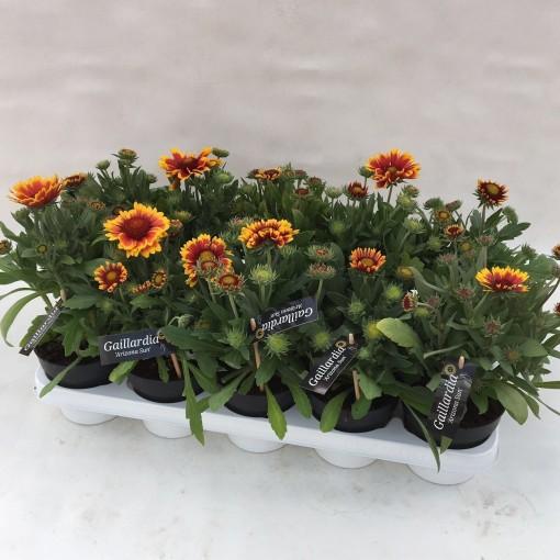 Gaillardia aristata (Liesvelden Kwekerij)