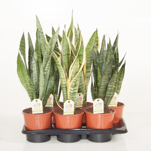 Sansevieria MIX (Ammerlaan, The Green Innovater)