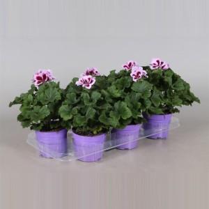 Pelargonium PATRICIA (Adrichem Potplanten)