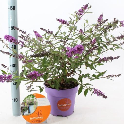 Buddleja PURPLE LION (About Plants Zundert BV)