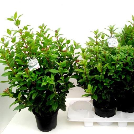 Viburnum tinus 'Ladybird' (Experts in Green)