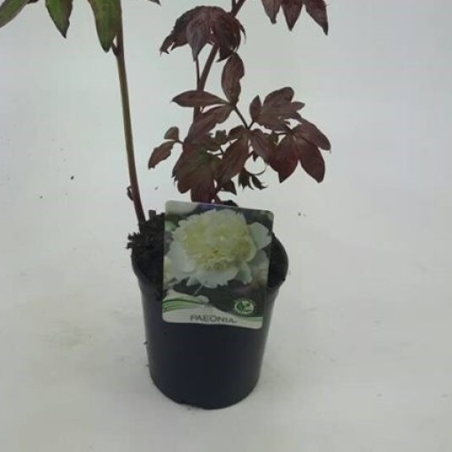 Paeonia 'Shirley Temple' (WTM de Boer)