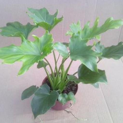 Philodendron bipinnatifidum (Gasa DK)