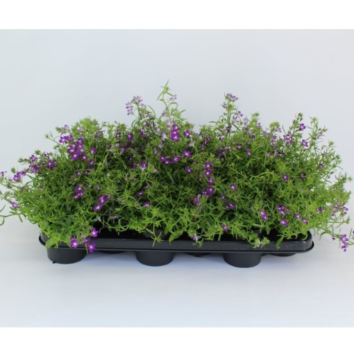 Lobelia CURACAO DARK VIOLET (Sonneveld Plants)