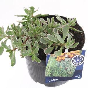 Sedum spurium 'Variegatum' (Kwekerij de Noordpoel)