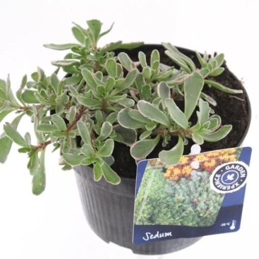 Sedum spurium 'Variegatum' (Noordpoel, Kwekerij de)