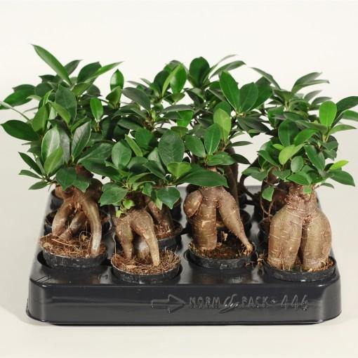 Ficus microcarpa 'Ginseng' (Duijn-Hove B.V. , Kwekerij)