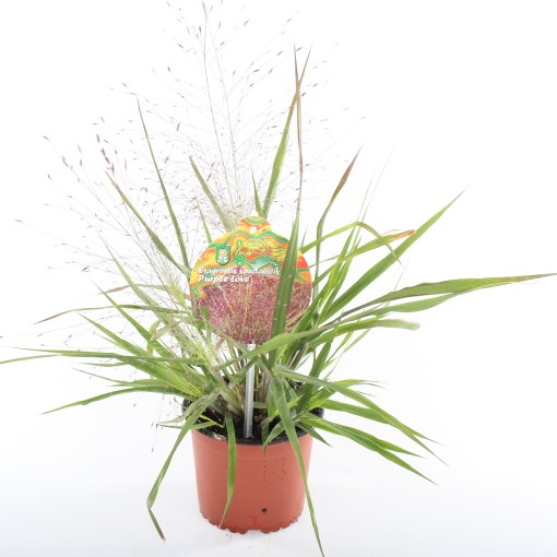 Eragrostis spectabilis PURPLE LOVE (Experts in Green)
