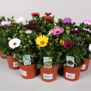 Osteospermum MIX (Endhoven Flowering Plants)