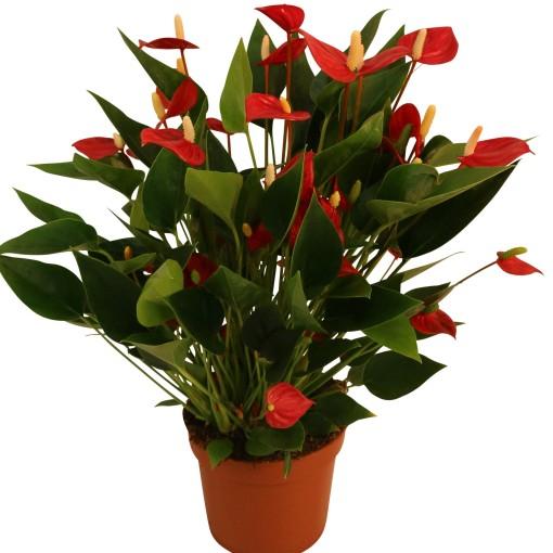 Anthurium MILLION FLOWERS RED (Karma Plants)