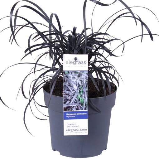 Ophiopogon planiscapus 'Nigrescens' (Hoogeveen Plants)