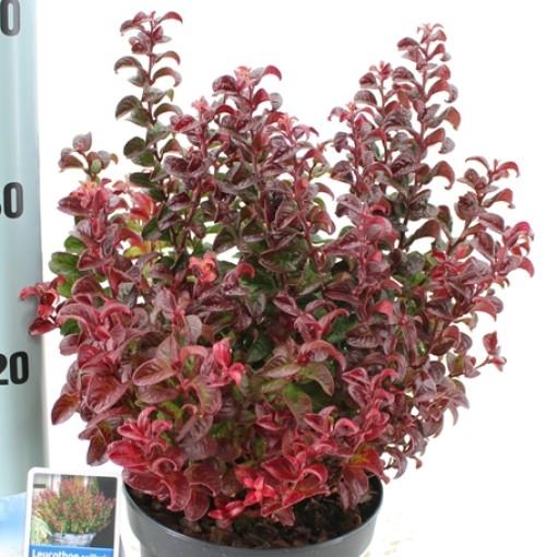 Leucothoe axillaris TWISTING RED (About Plants Zundert BV)