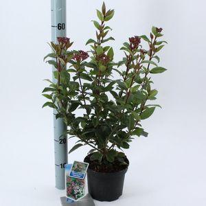 Viburnum tinus 'Gwenllian' (About Plants Zundert BV)