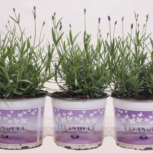 Lavandula angustifolia 'Hidcote' (Sjaak van Schie BV)