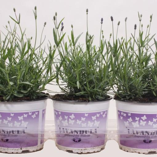 Lavandula angustifolia 'Hidcote' (Schie BV, Sjaak van)