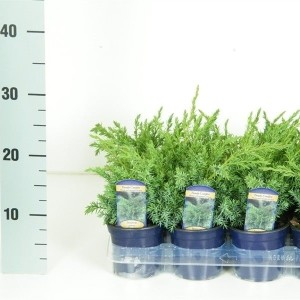 Juniperus MIX (Vredebest, Kwekerij )