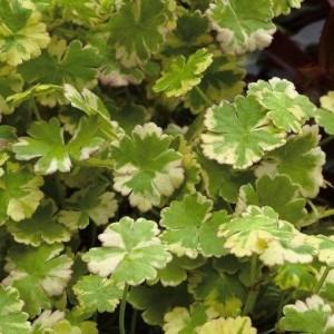 Hydrocotyle sibthorpioides 'Variegata' (Moerings Waterplanten)