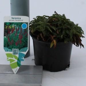 Veronica spicata 'Heidekind' (About Plants Zundert BV)