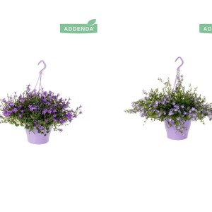 Campanula ADDENDA MIX