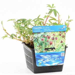 Potentilla palustris (Moerings Waterplanten)
