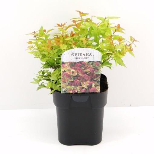 Spiraea japonica 'Firelight' (Hooftman boomkwekerij)