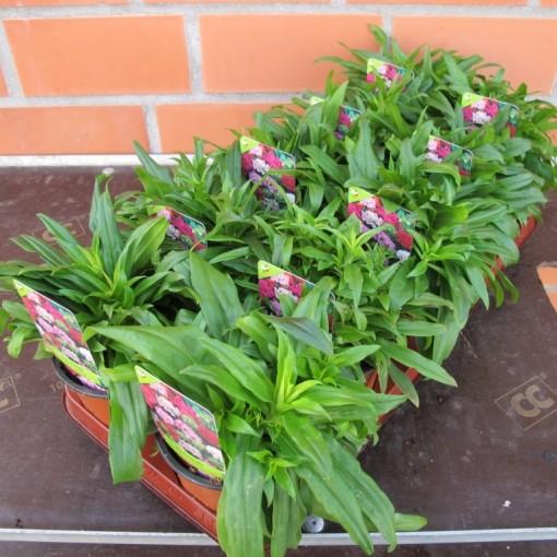 Dianthus barbatus 'Nanus' (Experts in Green)