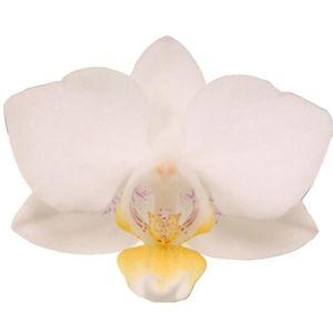 Phalaenopsis SOGO POPCORN (Ter Laak Orchids Multiflora)